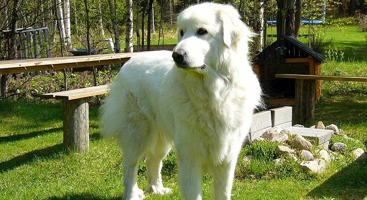 Cães gigantes - Cão de Montanhas dos Pirineus