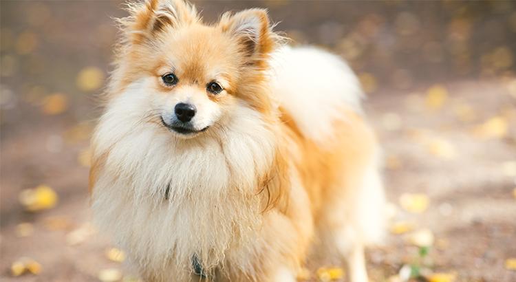 O que é e como tratar a Alopecia X em cães