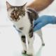 FIV: tudo sobre essa doença felina