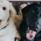 Como acostumar cachorros juntos