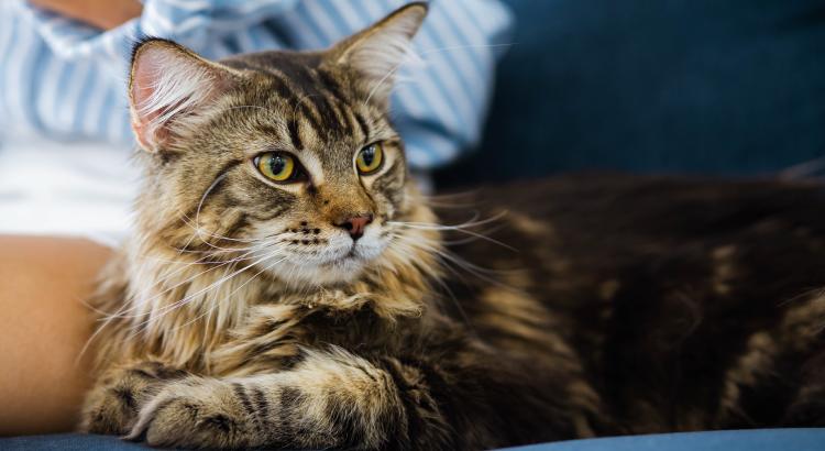 dicas para cuidar de gatos de pelo longo