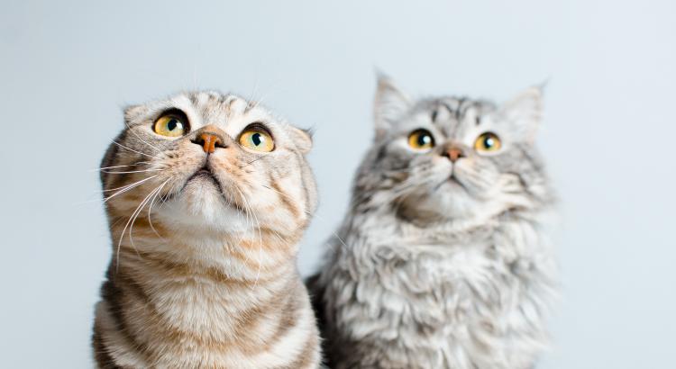 Como acostumar dois gatos juntos