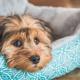 Piometria canina: doença comum em cadelas não castradas