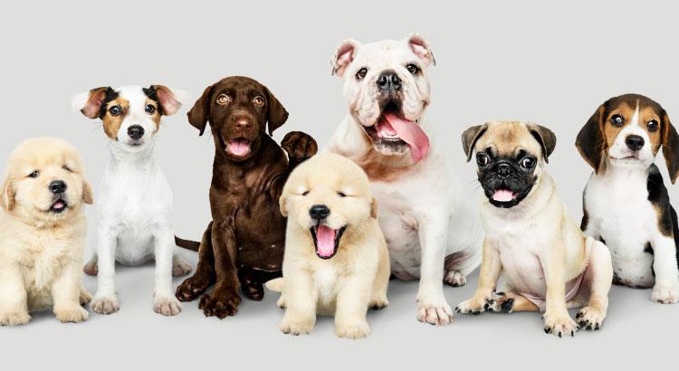 As 10 raças de cachorros mais populares do Brasil