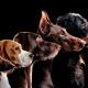 5 raças dóceis de cachorros para se apaixonar!