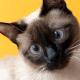 Estrabismo em gatos: entenda as causas e o tratamento!
