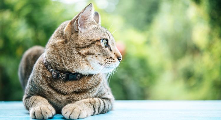 Micoplasmose felina: anemia causada pela pulga
